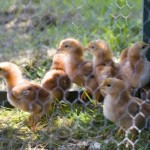 chicks out for a walk