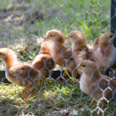 free range eggs and chickens
