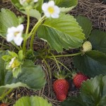 last year's strawberries