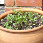 springtime coriander pesto