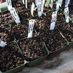 tomato and cucumber seedlings six days after sowing