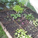 salad-crops-150x150