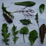 twelve salad leaves