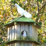 after four years our doves have decided that the dovecote does suit them after all.