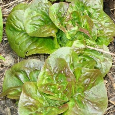 lettuce gallery