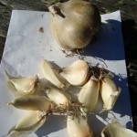 garlic ready to plant