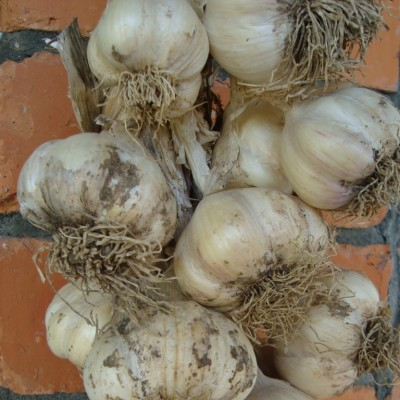 tips for growing great garlic