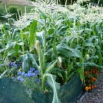 corn and flowers