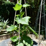 climbing summer squash 'african gem' - a cricket ball sized squash you can fit into a small space.