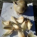 garlic-ready-to-plant