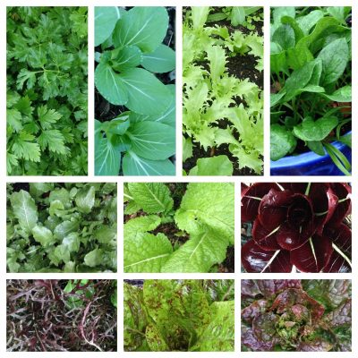 Sow your Autumn Salad and Herbs Thursday 20 February 2020 5.30-7pm