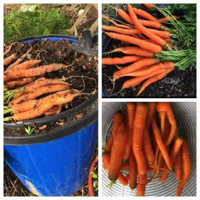 Autumn container carrots
