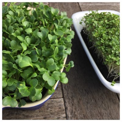 Growing Great Microgreens  Wednesday 5 or Thursday 6 August 2020, 5:30 – 6:30pm