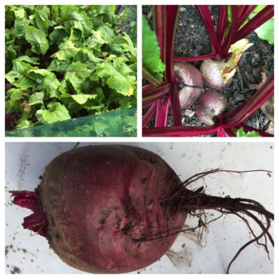 Beetroot, turnips and radishes aren't root vegetables?