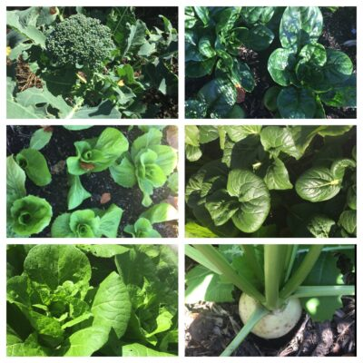 Here we go gathering greens in May…